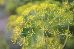 Dill in Blüte1